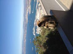 Apes on Gibralter ~5/13