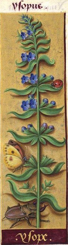 Ysope - Ysopus (Hyssopus officinalis L. = hysope) -- Grandes Heures d'Anne de Bretagne, BNF, Ms Latin 9474, 1503-1508, f°61r