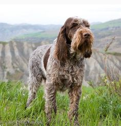 Spinone. By Craig Koshyk.