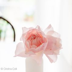 Floral still life photography - Pale pink David Austin rose Generous Gardener in white bottle - Feminine romantic Summer wall art - Home decor Giclée print    available in my Etsy shop - Photography & Styling by Cristina Colli