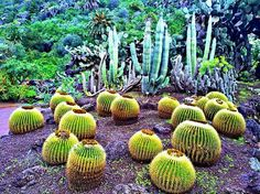Golden Barrel Cactus (Echinocactus Grusonii)!... . . #goldenbarrelcactus #golden #barrel #cactus #echinocactusgrusonii #plants #nature #photooftheday #photography #travel #flora #planet #kings_flora #botanicalgarden #garden #tour #europe #park #botanical #laspalmasdegrancanaria #canaryislands #island #spain #green