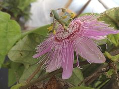 Passiflora Passion Vine Flower Tropical Pink Nephrodes