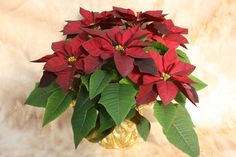 The Cortez Burgundy Poinsettia produces very dark red flower bracts and dark leaves.