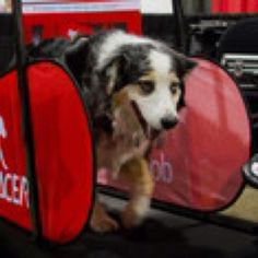 Dog Pacer treadmill for dogs!