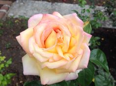 """""""Peace"""", is the queen of roses since 1946."""