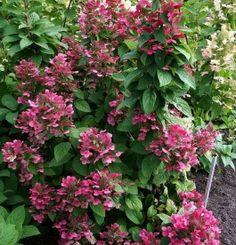 Hydrangea paniculata 'Magical Fire' Colorful Flowers, Blue Flowers, Hydrangea Paniculata, Turn Blue, Hardy Perennials, Dried Flowers, Plants, Fire, Gardens