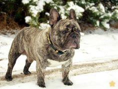 Buldog francuski ROLEX BAFLO, Brindle French Bulldog in the Sno #buldog francuski ROLEX BAFLO, Brindle French Bulldog in the Snow
