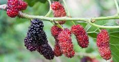Εναλλακτικές προτάσεις Υγείας ,Διατροφής,Ψυχολογίας και θεραπευτικά βότανα Superfood, Agriculture, Blackberry, Health Fitness, Herbs, Fruit, Garden, Nature, Garten