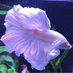 Betta Fish Types, Betta Fish Tank, Beta Fish, Pretty Fish, Cool Fish, Beautiful Fish, Pretty Animals, Cute Little Animals, Animals Beautiful