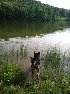 Keystone State Park Summer 2013  German Shepherd Dog Hiking  Baron after his aqua Kong toy