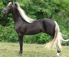 Rocky Mountain Horse stallion, Doc's Storm Trooper.