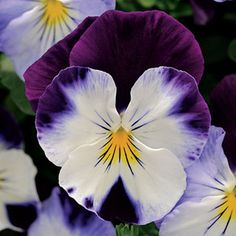 Cool Wave™ Violet Wing Pansy is perfect for a hanging basket - will actually trail out of it!!