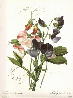 Pierre Joseph Redoute (1)   Цветочная литография . Обсуждение на LiveInternet - Российский Сервис Онлайн-Дневников