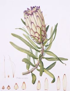 Beautiful protea illustration Nature Illustration, Floral Illustrations, Botanical Illustration, Botanical Flowers, Botanical Prints, Protea Flower, Protea Art, Australian Wildflowers, Botanical Drawings