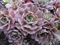 Las Siemprevivas y sus variados colores | Cuidar de tus plantas es facilisimo.com