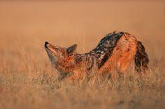 Black Backed Jackal Stretching, Central Kalahari Game Reserve, Botswana  >>Downward Facing Jackal