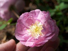 Dette er rosen pimpinellerosen 'Poppius' som plutselig sto der med en håndfull blomster, helt uventet og veldig gledelig Flowers, Plants, Plant, Royal Icing Flowers, Flower, Florals, Floral, Planets, Blossoms