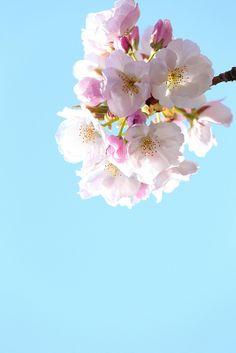 SAKURA(Cherry blossom)/ Jindai Botanical Gardens, Chofu, Tokyo