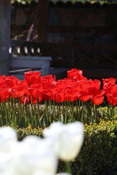 Tulips in Nezahat Gökyiğit parc , tulipani nel parco di Nezahat Gökyiğit , Nezahat Gökyiğit park laleleri