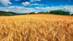 Зерно и оружие. Олег Макаренко. Экспорт продовольствия из России вырос за последние 10 лет в несколько раз — мы сейчас экспортируем больше еды, чем даже оружия. Американские фермеры недовольны: конкурировать с нами по цене они не могут, поэтому шансов сохранить л