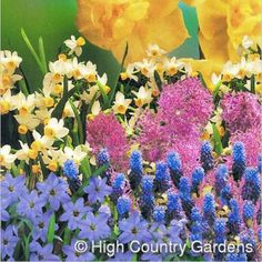 A colorful selection of 50 mid-spring bloming bulbs that that deer wont eat. Summer Flowering Bulbs, Spring Bulbs, Hyacinth Flowers, Bulb Flowers, Fall Plants, Garden Plants, Spring Garden, Lawn And Garden, Deer Resistant Flowers
