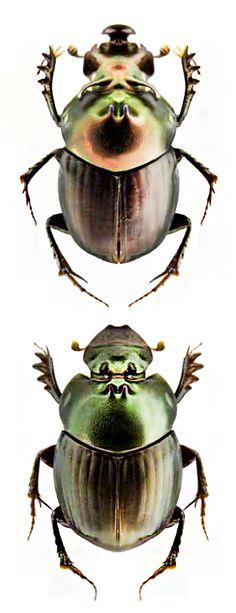 Onthophagus rhinolophus