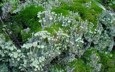 A green algae and a lichen fungi that have come together to form a lichen. Source: nicdafic, CC BY 2.0, via flickr