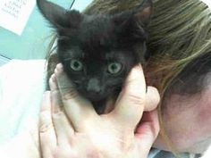 Grand Prairie, TX - Domestic Mediumhair. Meet NIKKI, a kitten for adoption. http://www.adoptapet.com/pet/17415229-grand-prairie-texas-kitten