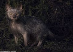 WHY? Spook-tacular: The unique Lykoi cats have been nicknamed 'werewolf cats' for their unique appearance and dog-like behavior
