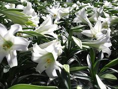 THE EASTER LILY ORIGINATED IN THE GARDEN OF EDEN BY THE TEARDROPS OF EVE THAT SHE SPREAD WHILE LEAVING THE GARDEN OF EDEN. THEY WERE TEARDROPS OF REPENTANCE.