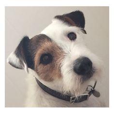 Scout - Rescue Jack Russell Terrier