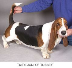 Tait's Bassets - Available Puppies
