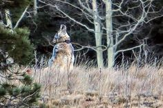Lone Grand Canyon Wolf Confirmed Dead | IFLScience (THIS IS WHY WE CAN'T HAVE NICE THINGS.)
