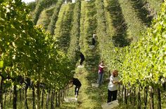 Valley of the Vineyards, in the Serra Gaucha. Rio Grande Do Sul, Santa Catarina Brazil, Due South, Harvest Time, Trip Advisor, Vineyard, Dolores Park, Country Roads, Vacation