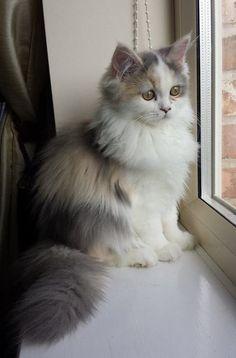 Flump - a tri-colored Persian cat