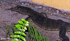 Varanus salvator (Malayan Water Monitor)
