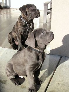 Old World Cane Corso Gallery