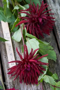 Dahlia 'Summer Night' - A fashionably dark maroon cactus dahlia that is great for the 'bruised' themed borders. The fully double flowers have long, narrow, pointed petals that recurve for more half their length. This dahlia looks great planted in bold groups in a sunny, sheltered border. The flowers are produced from July until the first frosts, when the tubers should be lifted for over-wintering in a frost-free place.