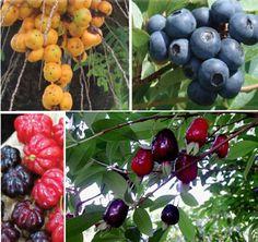 Frutas nativas do RS/ FOTO: divulgação/montagem Butiá, guabiroba, pitanga e cereja do mato.