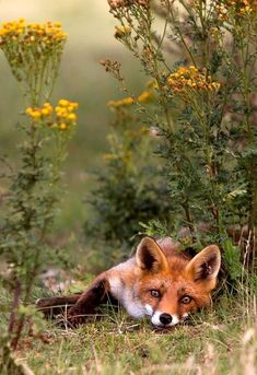 Wild fox taking a rest. Love this sweet fox. Nature Animals, Animals And Pets, Baby Animals, Cute Animals, Beautiful Creatures, Animals Beautiful, Fennec, Wolf Hybrid, Fox Pictures