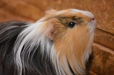 Can guinea pigs climb(Ramps, Cages, Tubes, etc.Can guinea pigs climb? Yes, Guinea pigs can climb s Baby Guinea Pigs, Guinea Pig Care, Guinea Pig Information, Animals And Pets, Cute Animals, Baby Animals, Guinea Pig Breeding, Guniea Pig, Cute Piggies