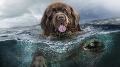 Newfoundland Dogs Wallpaper Exotic Pets Newfoundland dogs wallpaper , neufundland hunde wallpaper , fond d'écran de chiens de terre-neuve , fondo de pantalla. Big Dogs, Cute Dogs, Dogs And Puppies, Brown Newfoundland Dog, Terra Nova, Dog Background, Dog Mixes, Big Brown, Dog Facts