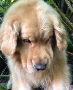 """""""smush face"""" on a golden retriever, one of the cutest but rarely captured poses. Two goldens, no luck whatsoever! #goldenretriever"""