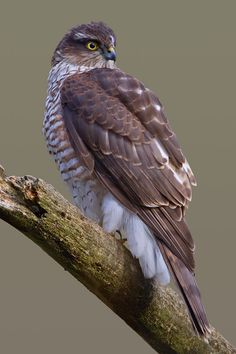Eurasian Sparrowhawk - (Accipiter nisus), also known as the northern sparrowhawk or simply the sparrowhawk, is a small bird of prey in the family Accipitridae (12–14 in) long,