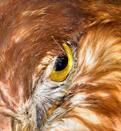 Hawk eye by Welbis Pestana on Hawk Eye, Wildlife, Birds, Eyes, Bird