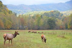 """USA Today names Cataloochee Valley in the Great Smoky Mountains National Park as one of ten best national park drives, saying """"This drive meanders through the quiet side of the busy park, running from Cove Creek Road just off I-40 on the North Carolina side through the Cataloochee Valley."""" Many of us know Cataloochee Valley for its vibrant elk population. Learn more about the elk: http://www.nps.gov/grsm/naturescience/elk-facts.htm #playon #cataloocheevalley www.mountainloversnc.com"""