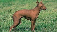 Xoloitzcuintle: Liebevoller Azteken-Hund - Hunde - FOCUS Online Mobile - Nachrichten