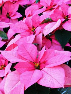 Pink Poinsettias. Gorgeous!
