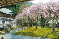 SAKURA in Kyoto JAPAN 常照皇寺