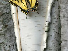 Picture of a swallowtail butterfly on a birch tree in Minnesota